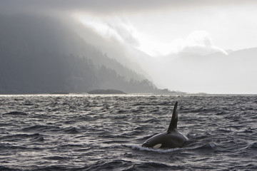 """Orca swimming off Queen Charlotte Islands, British Columbia, Canada"""