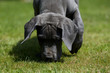 tête du jeune dogue allemand museau au sol