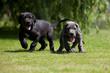 drôle d'allure pour deux chiots de race dogue allemand