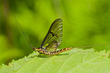 Mayfly (Ephemeroptera) 1 poster