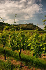 Summer vineyard in Moravia with ruin of Devicky castle