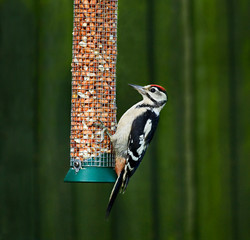 Great Spotted Woodpecker on feeder