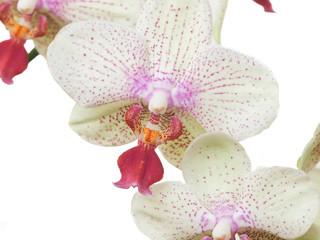 blossom-7