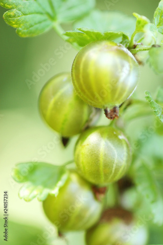 gooseberries on the bush