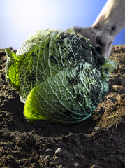 curly cabbage in earth