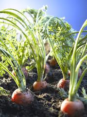 carrots in earth