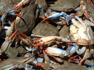 blue crabs close up5