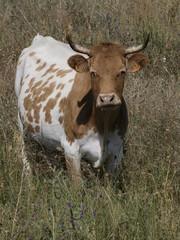 Vaca en Madrid