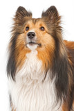 Close-up of Shetland Sheepdog Dog Isolated on White