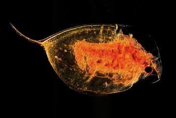 Microscopic image of plankton water flea Daphina