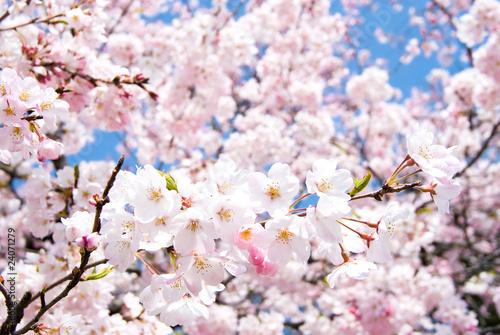 満開のソメイヨシノの花