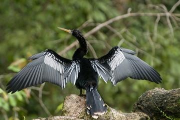 Costa Rica birds Anhinga