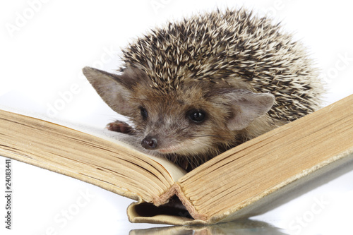 hedgehog on book
