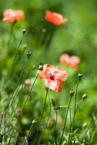 Wild poppies growing in field. Shallow depth of field.