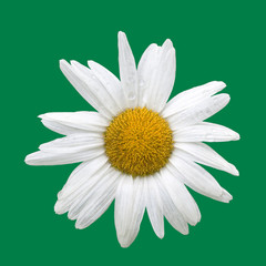 Daisy isolated on green