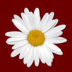 Daisy isolated on red