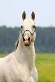 white purebred stallion poster
