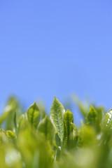 茶葉と青空