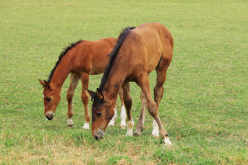 The little Foal with your Mother on the Pasture