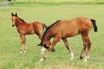 Little brown Foals