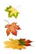Bunte Ahornblätter fallen runter