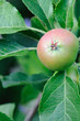Green English apple, with a red blush, ripening on a tree