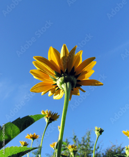 Orange Daisy with blue sky on background