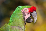 Green Parrot with red feathers on beak poster