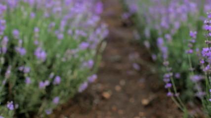 A lot of purple flowers