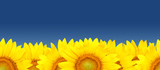 Sunflowers bakground - seamless pattern