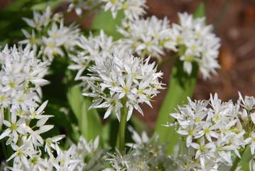 Bärlauchblüte (Allium ursinum )