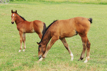 Two little brown Foals on the green Field