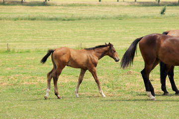 The little brown Foal on the green Field