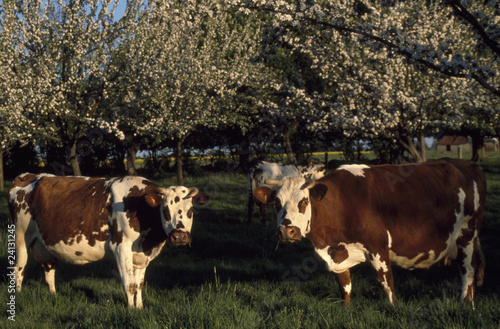 normandy cows in a field
