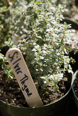 silver thyme plant