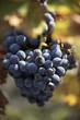 bunch of grenache balck grapes on the vine