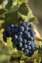 bunch of grenache balck grapes on the vine