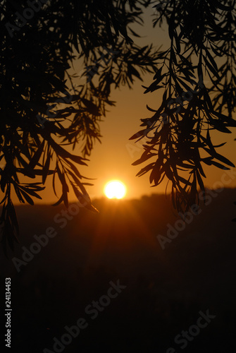 view of the sunset through olive branches