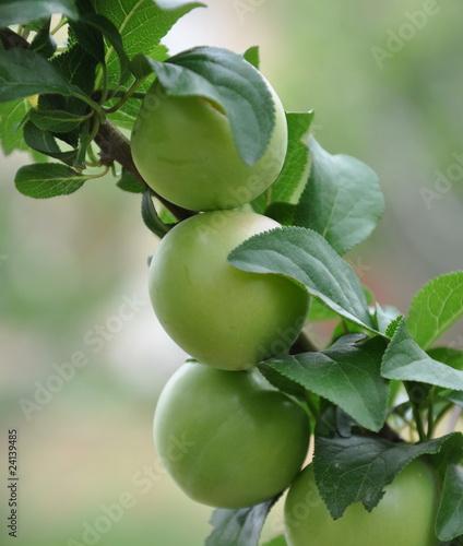 arbre fruitier le prunier de celeste clochard photo libre de droits 24139485 sur. Black Bedroom Furniture Sets. Home Design Ideas