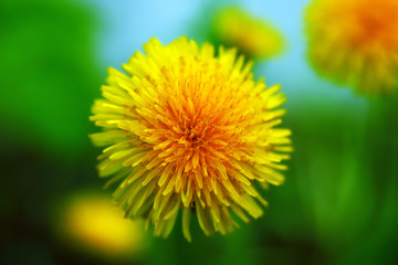 yellow tender dandelion