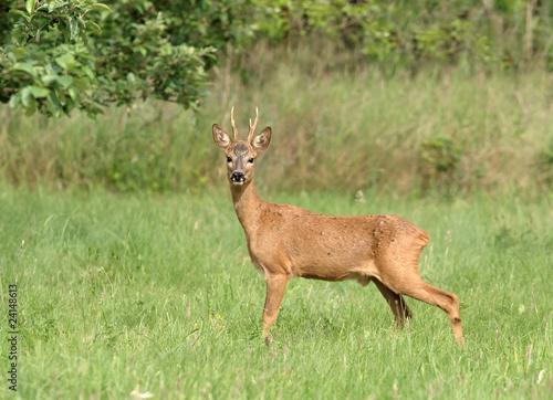 Spoed canvasdoek 2cm dik Ree Chevreuil - Roe Deer (capreolus capreolus)
