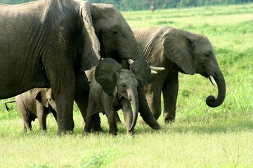 Zambia Elephants