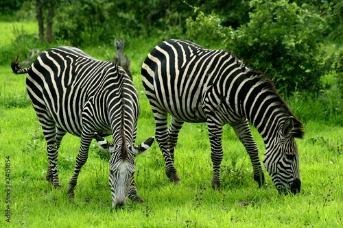 Foto op Plexiglas Zebra Zambia Zebras