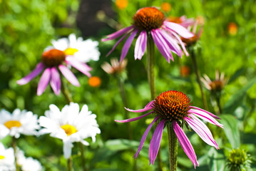 echinacea flowers among calendula and hamomilla at  field