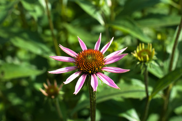 echinacea flowers at medicine plant field