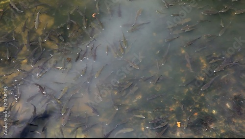 Many fishes on the water surface