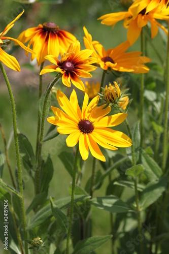 Желтые садовые ромашки