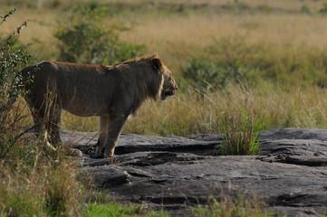 Lonely lion hunts in savanna