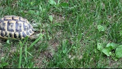 tortue de terre