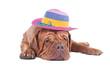 Dogue de bordeaux with summer hat